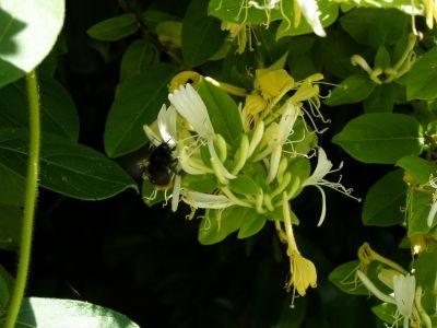 s-コマルハナバチメス20150521生態園スイカズラの花に来た (2)
