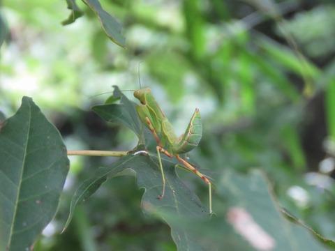 IMG_3393カマキリ幼虫