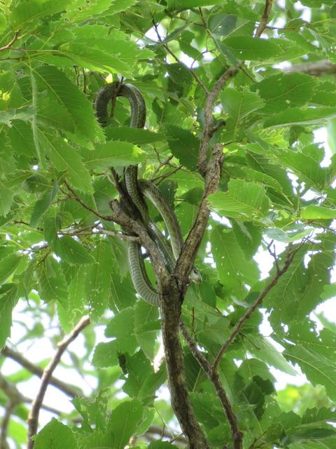 アオダイショウ樹上20180626生態園okubo (4)