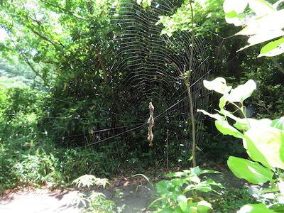 ゴミグモ巣20210525生態園okubo1_s