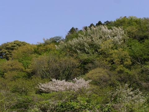 s-ヤマザクラ花20160415モンキチョウの広場からyk (4)