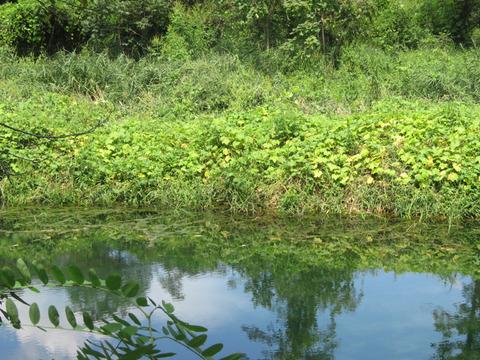 170903  湿地エリアのアレチウリ 800600HH IMG_2672