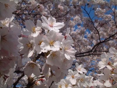 20100424鶴岡公園3