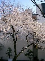 3/28開花状況