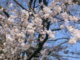 3/27野毛山開花状況