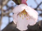 5輪目の桜