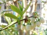 P1000827_20090411berry