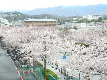 桜花賞 (1)