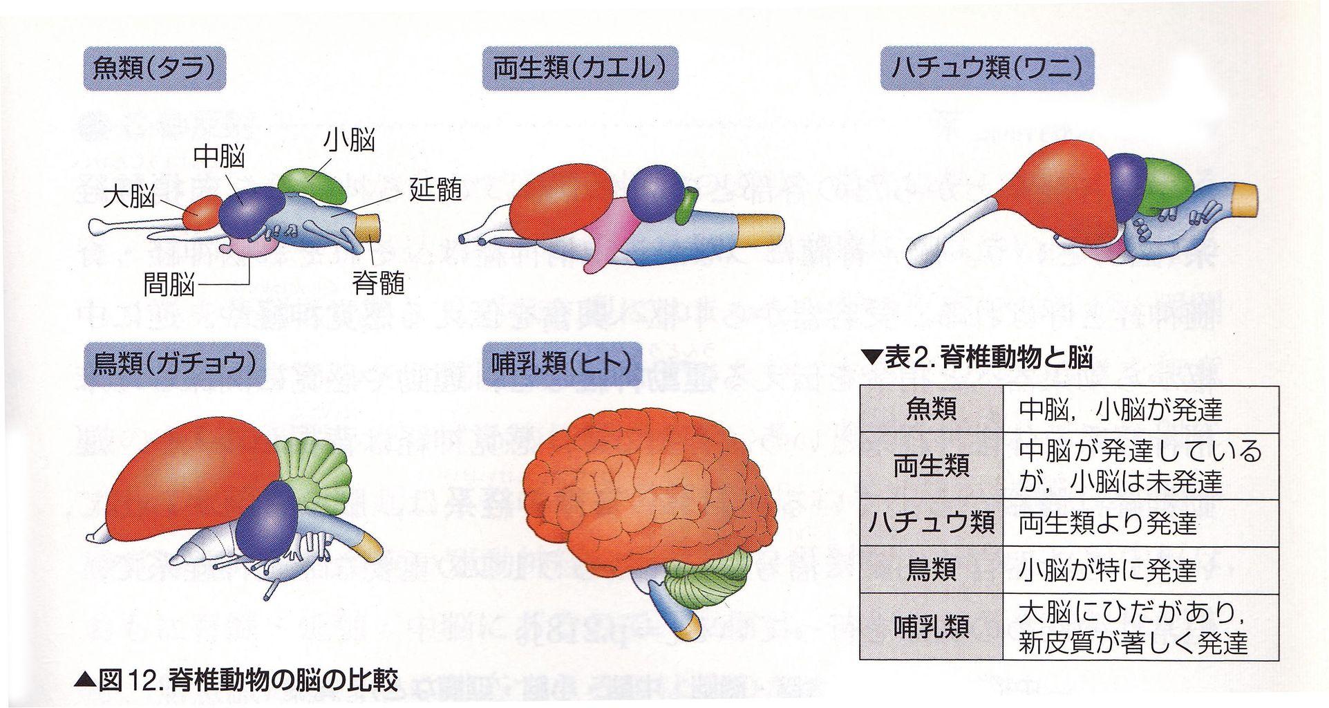 鶏の脳の解剖 : Web247