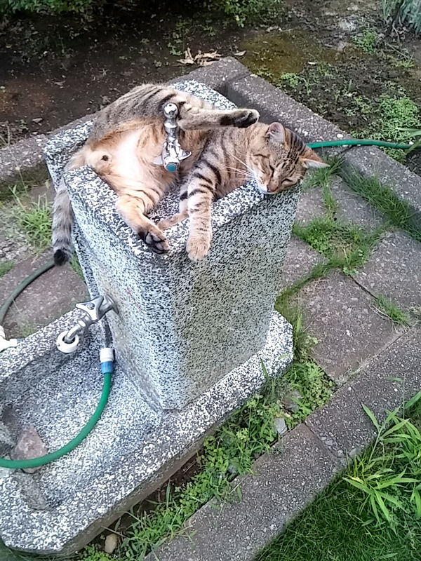 【悲報】野良ネッコ、公園の水飲み場を占拠する