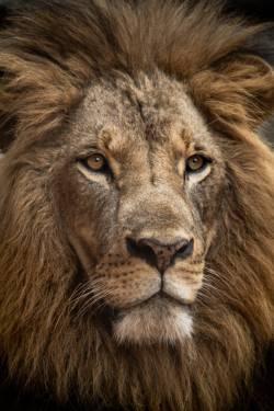 【画像】ライオンが水を飲んだ結果www