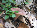 チリメンチチタケ Lactarius corrugis Peck
