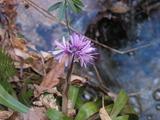 ショウジョウバカマ Heloniopsis orientalis