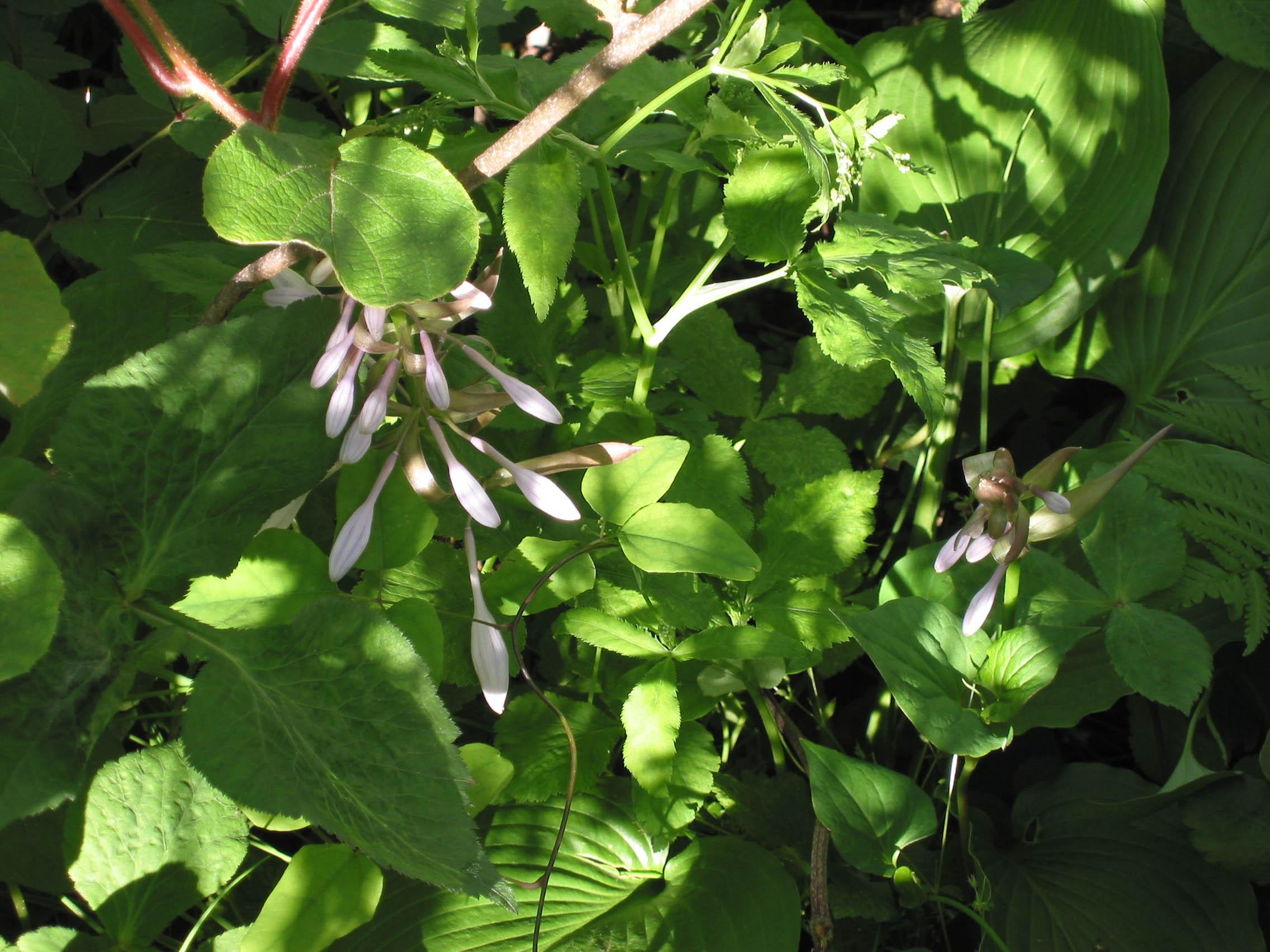 開花したオオバギボウシ Hosta montana  オオバギボウシの花 Hosta monta