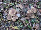 ハタケシメジ Lyophyllum decastes (Fr.: Fr.) Sing.