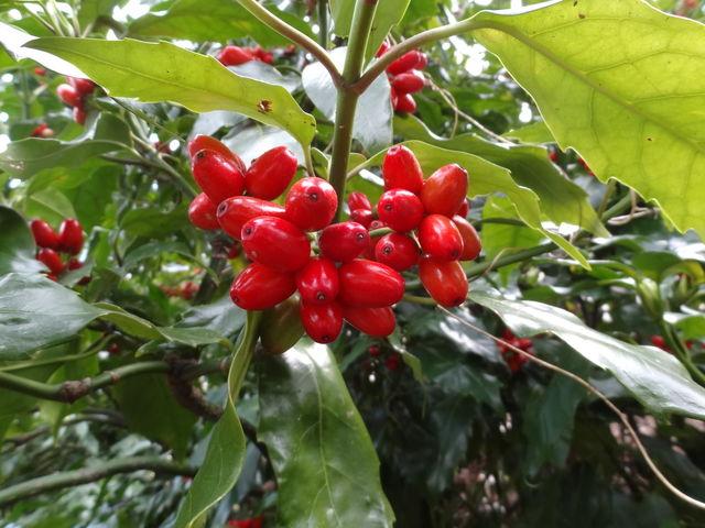 アオキ (植物)の画像 p1_40