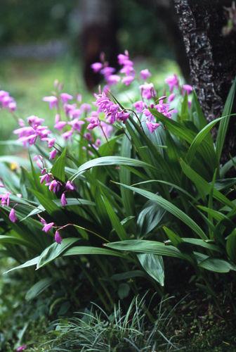 シラン (植物)の画像 p1_40