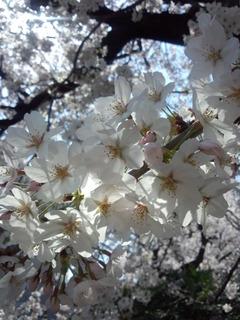 30桜12