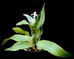 Neoregelia lilliputiana