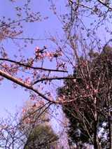 行船公園の桜