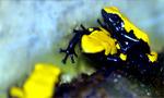 galactonotus yELLOW