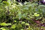 箱根湿生花園2