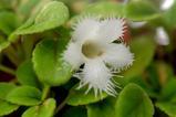 アルゾビア・ディアンシフローラ (Alsobia dianthiflora)