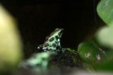 D.auratus Bronz&Green Microspot