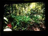 quinquevittatus habitat02