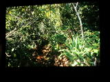 quinquevittatus habitat03