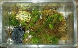 生きているミズゴケとツノガエル