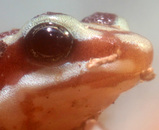 ミイロヤドクガエルの目