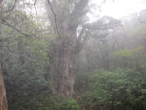 IMG_1801縄文杉