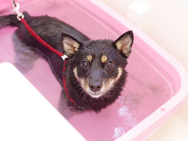 換毛期にオススメなローズスパ!今日は柴犬ちゃんをご紹介します。