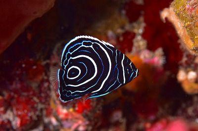 タテジマキンチャクダイ幼魚�