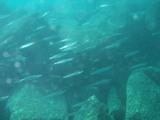 魚が群れるべし
