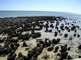 275px-Stromatolites_in_Shark_Bay