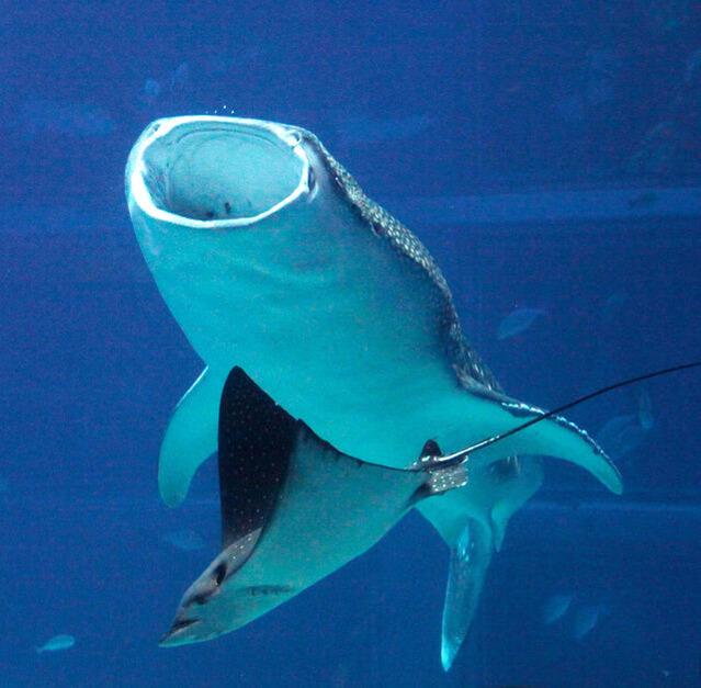 ジンベエザメの画像 p1_37
