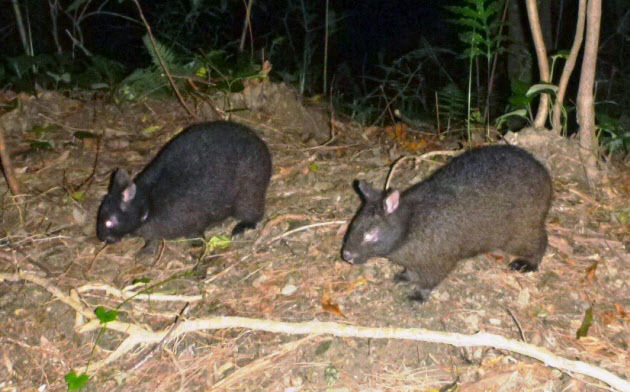 アマミノクロウサギの画像 p1_26
