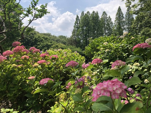 Welcome Beautiful Japan Hydrangea 2019061203