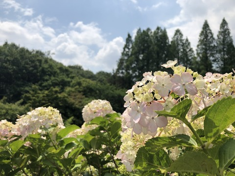 Welcome Beautiful Japan Hydrangea 2019061204