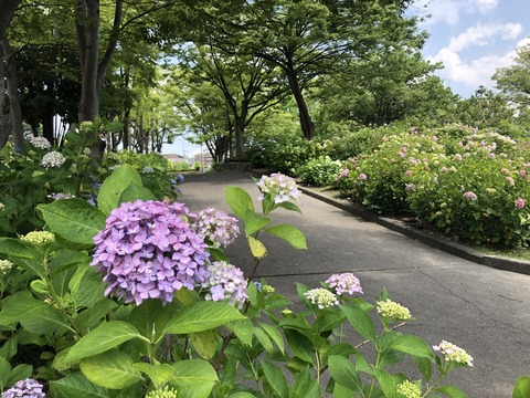 Welcome Beautiful Japan Hydrangea 2019061201