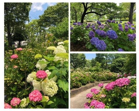 Welcome Beautiful Japan Hydrangea 20190612