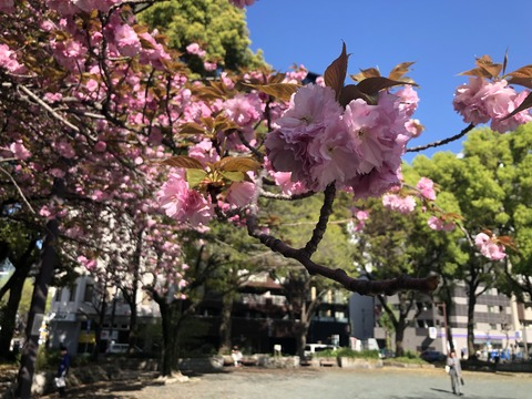 Welcome Beautiful Japan double cherry blossoms 2019041811