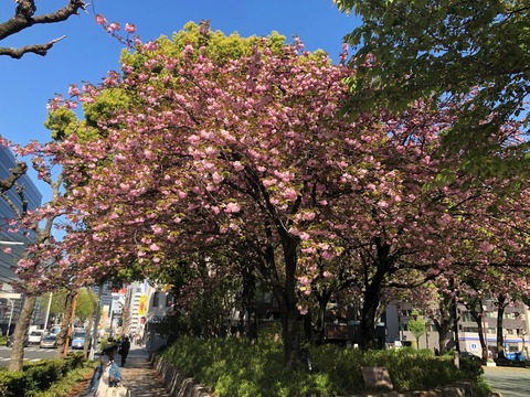 Welcome Beautiful Japan double cherry blossoms 2019041801