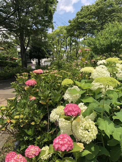 Welcome Beautiful Japan Hydrangea 2019061202