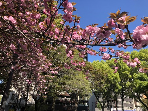 Welcome Beautiful Japan double cherry blossoms 2019041810