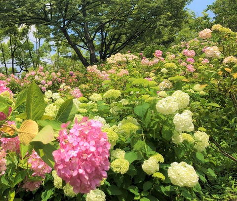 Welcome Beautiful Japan Hydrangea 2019061220