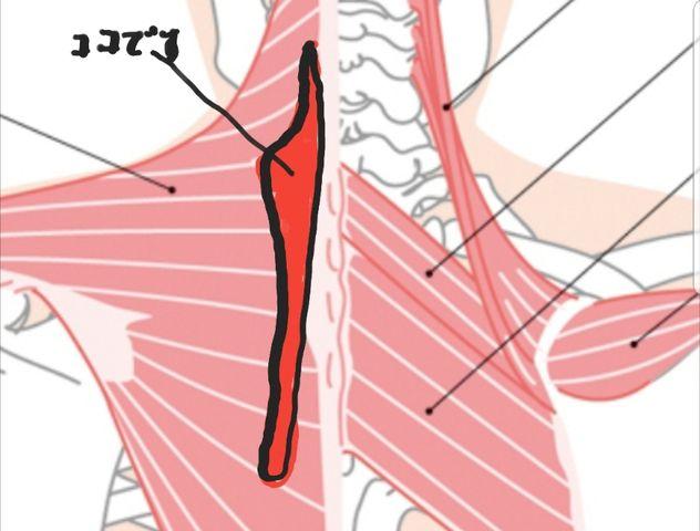 筋違い 肩 甲骨