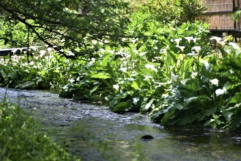 水の苑カラーの花55